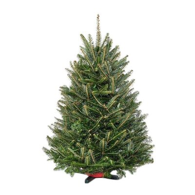 Real Christmas Trees Delivered Fresh Fraser Fir Christmas Tree