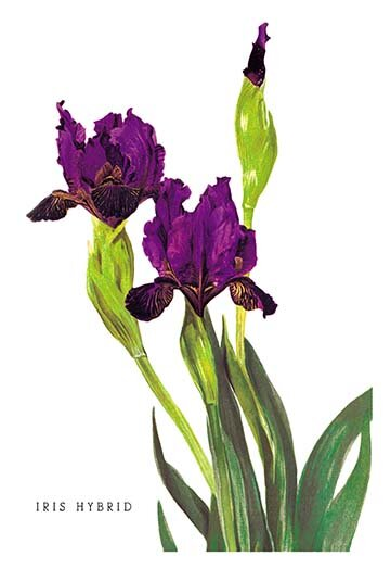 Buyenlarge Iris Hybrid Graphic Art Wayfair