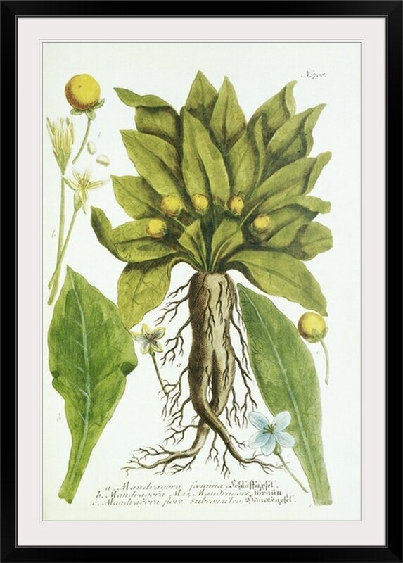 Great Big Canvas Mandrake Plant Print Wayfair