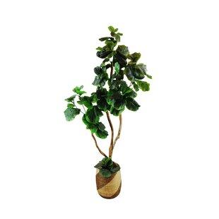 Fig Tree In Basket