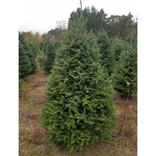 Alpine Balsam Fir Tree Wayfair