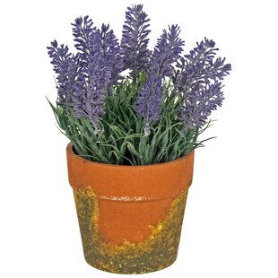 Lavender Plant In Pot Image