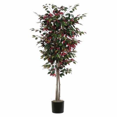 Alcott Hill Capensia Deluxe Ficus Tree in Pot