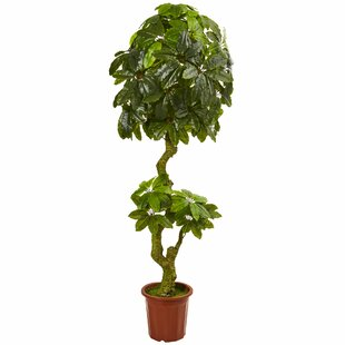 Desk Top Ficus Indoor Plants You\'ll Love | Wayfair