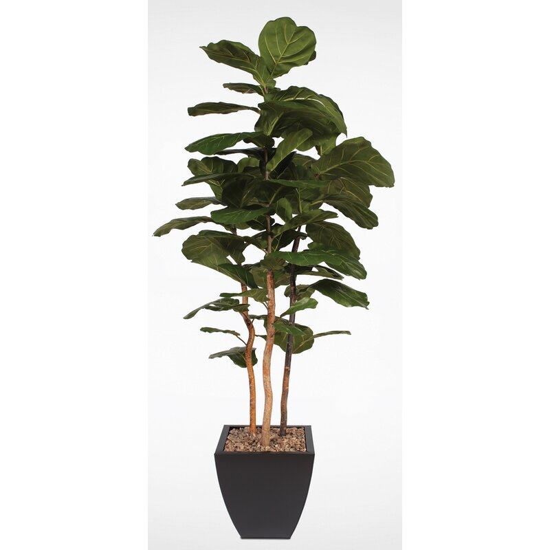 Corrigan Studio Brazilian Fiddle Leaf Fig Tree In Planter Wayfair