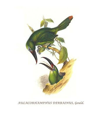 Chestnut Tipped Toucanet By John Gould Graphic Art Buyenlarge Size 30 H X 20 W X 15 D