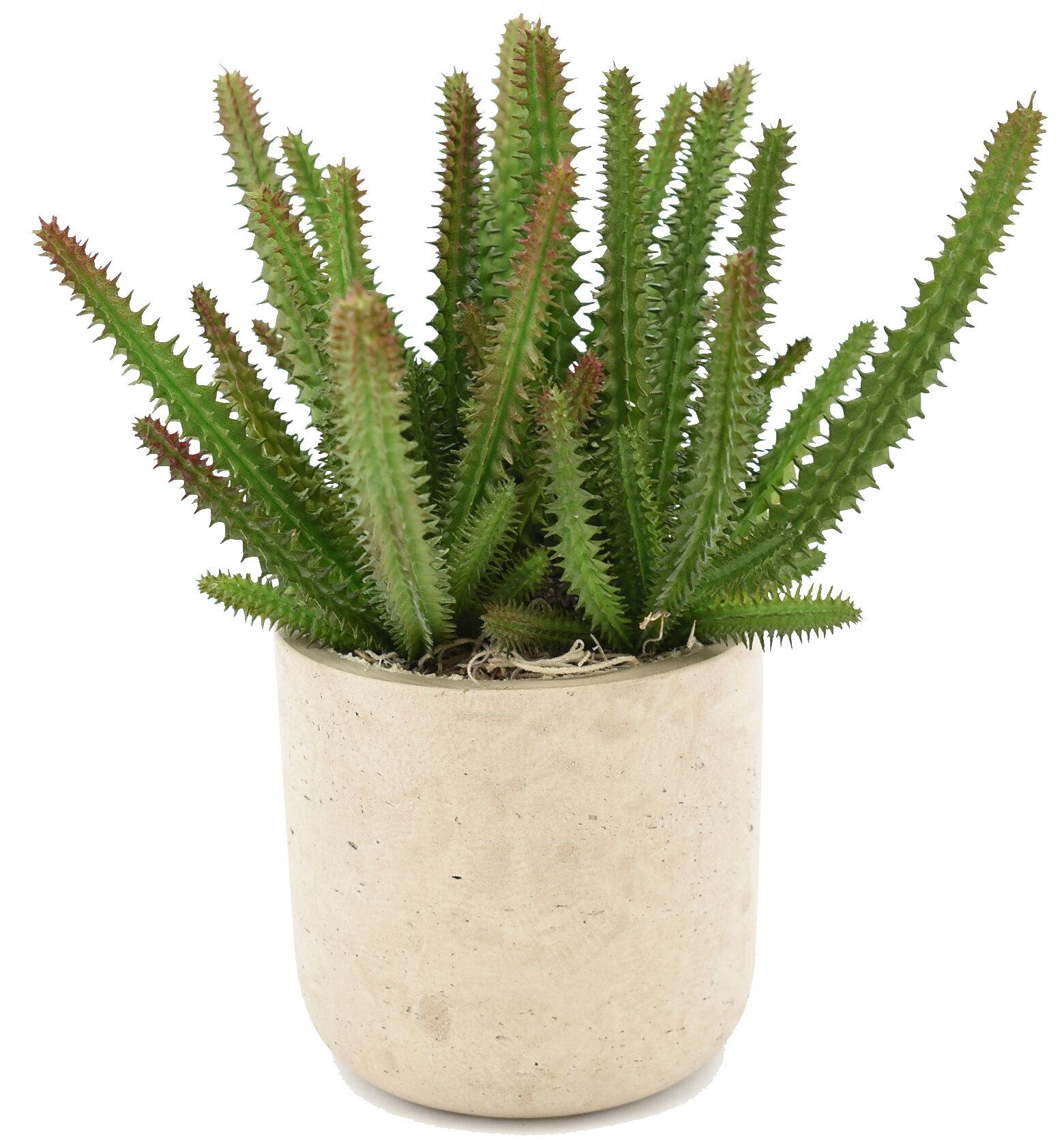 Euphorbia Cactus Succulent In Pot Joss Main
