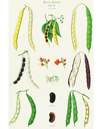 Beans - Runner, Tall Kidney, or Pole by Ernst Benary Graphic