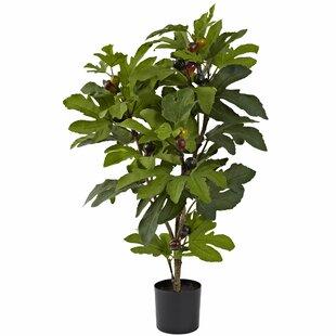 Fig Tree In Pot