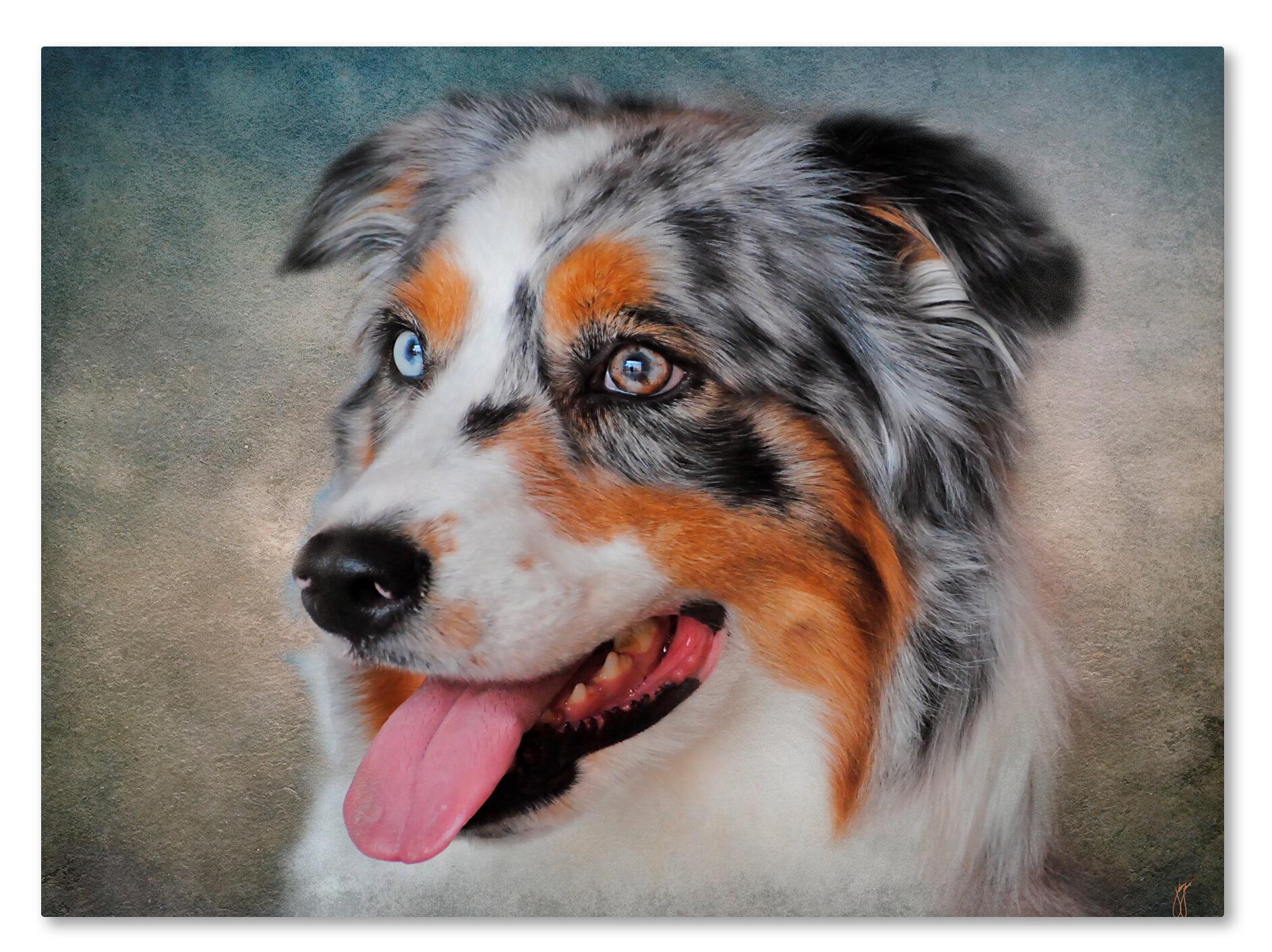 Blue Merle Australian Shepherd Portrait Graphic Art Print On Wrapped Canvas