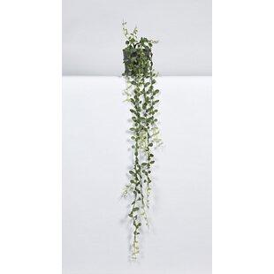 Dischaidia Plant In Pot Image
