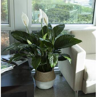 """Artificial 29/"""" Mixed Greens /& Spathiphyllum Peace Lily Decorative Burgundy Vase"""