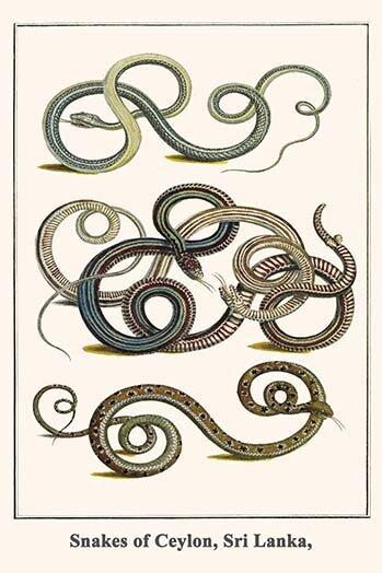 Buyenlarge Snakes Of Ceylon Sri Lanka By Albertus Seba Unframed Graphic Art Print Wayfair