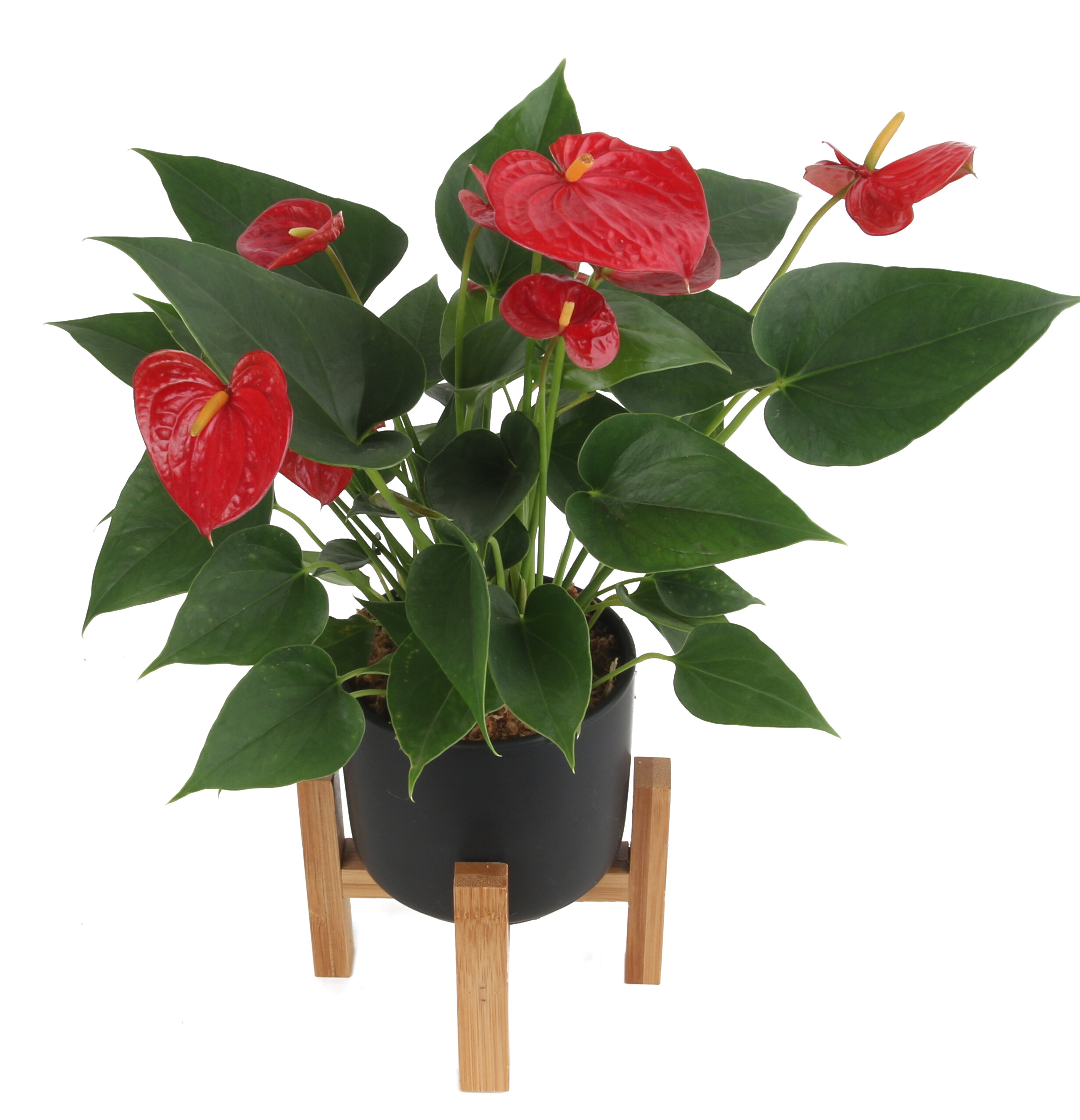 Costa Farms 10 Live Flowering Plant In Planter Wayfair