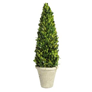 Boxwood Plant in Pot by Brambly Cottage