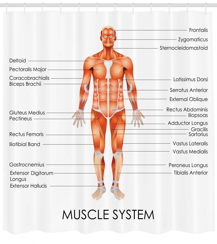 Ambesonne Human Anatomy Muscle System Diagram of Man Body Features  Biological Elements Medical Heath Image Single Shower Curtain | WayfairWayfair