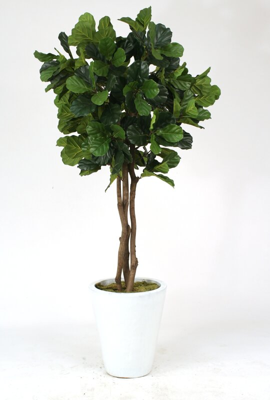 fiddle leaf fig tree in pot - Fiddle Leaf Fig Tree