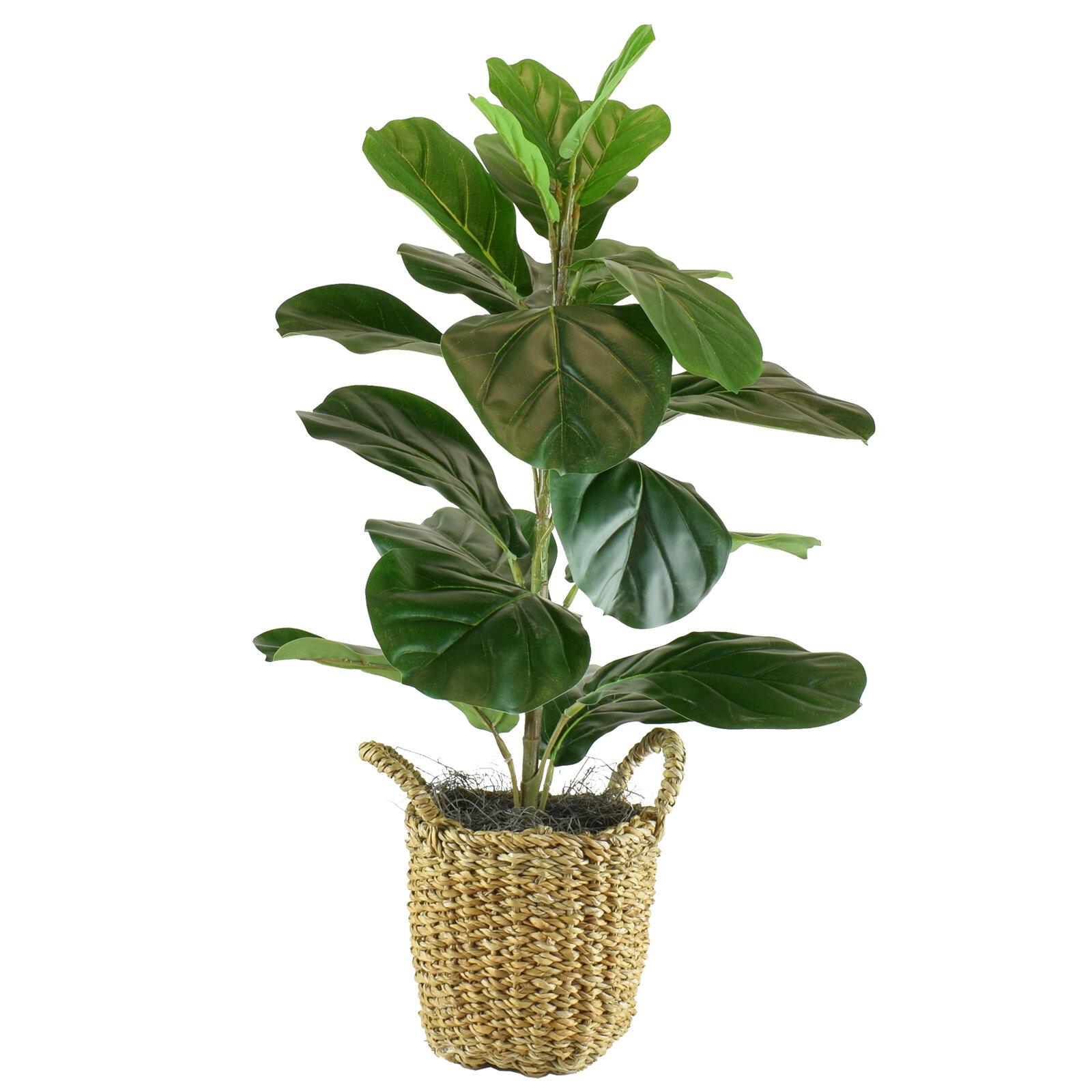 Fiddle Leaf Fig Tree In Basket Reviews Joss Main
