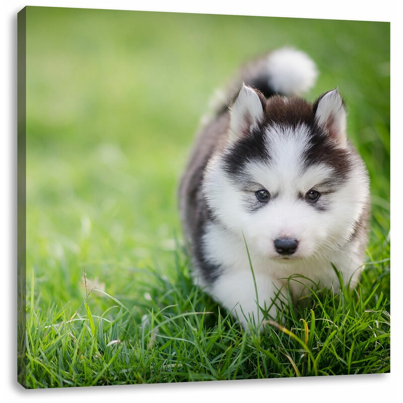 East Urban Home Adorable Husky Puppy Photographic Print On Canvas Wayfair Co Uk
