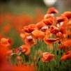 Pro-Art Orange Poppies I Rectangular Photographic Print on Canvas