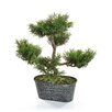 Castleton Home Bonsai Mini Pine Tree