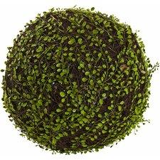 Mohlenbechia Ball Grass
