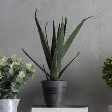 Aloe Vera Desk Top Plant in Pot (Set of 4)