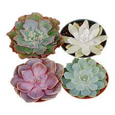 12 Pack Rosette Succulent Desk Top Plant in Pot