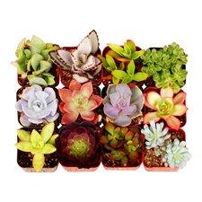 12 Pack Unique Succulent Desk Top Plant in Pot