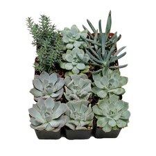 12 Pack Succulent Desk Top Plant in Pot