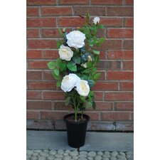 Musk Rose Bush in Pot