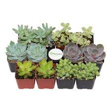 12 Pack Pastel Succulent Desk Top Plant in Pot