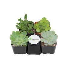 4 Pack Desk Top Plant in Pot