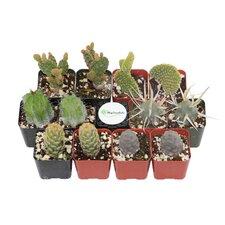 12 Pack Cactus Desk Top Plant in Pot