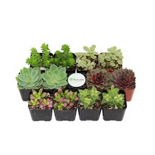 12 Pack Assorted Succulent Desk Top Plant in Pot