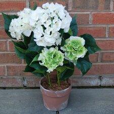 Hydrangea Bush in Pot