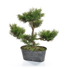 Bonsai Mini Pine Tree