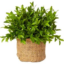 French Market Myrtle Plant in Burlap Pot (Set of 3)