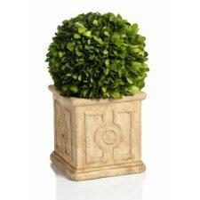 Cinzia Preserved Boxwood Topiary in Pot