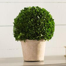 Preserved Greens Ball Boxwood Topiary in Pot