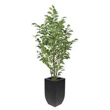 Ficus Tree in Planter